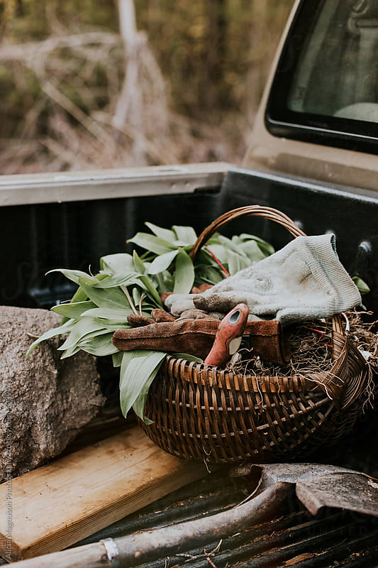 Foraged Ramps in Basket in Truck by Alicia Magnuson Photography for Stocksy United