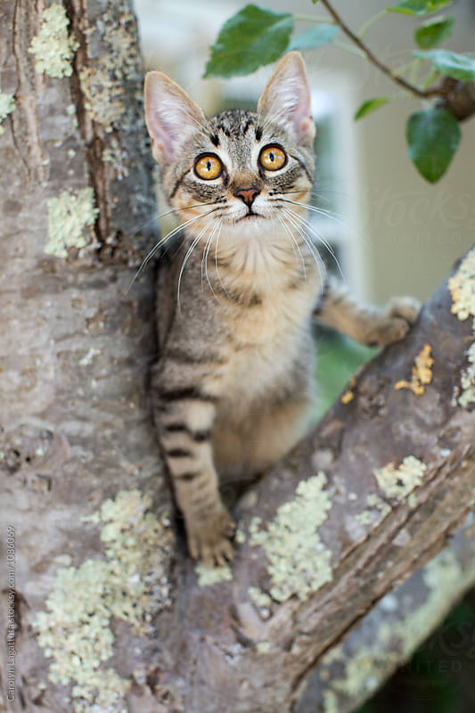 Tabby kitten stuck in a tree by Carolyn Lagattuta for Stocksy United