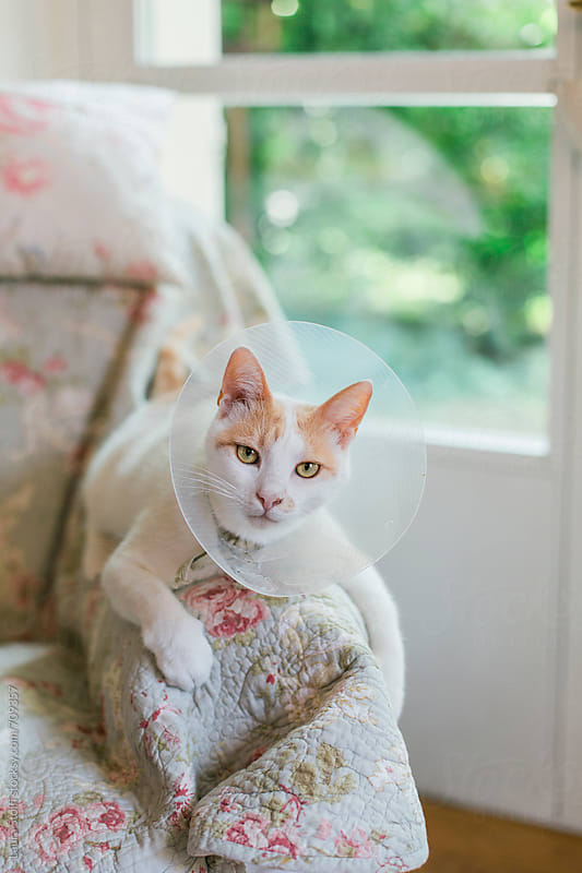 Cat looks at the camera while laying on armchiar's arm and wearing a pet lamp-shade by Laura Stolfi for Stocksy United