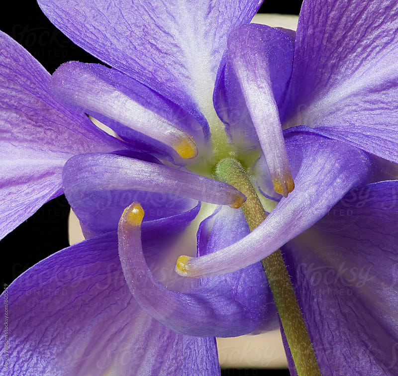 Columbine from behind, closeup by Mark Windom for Stocksy United