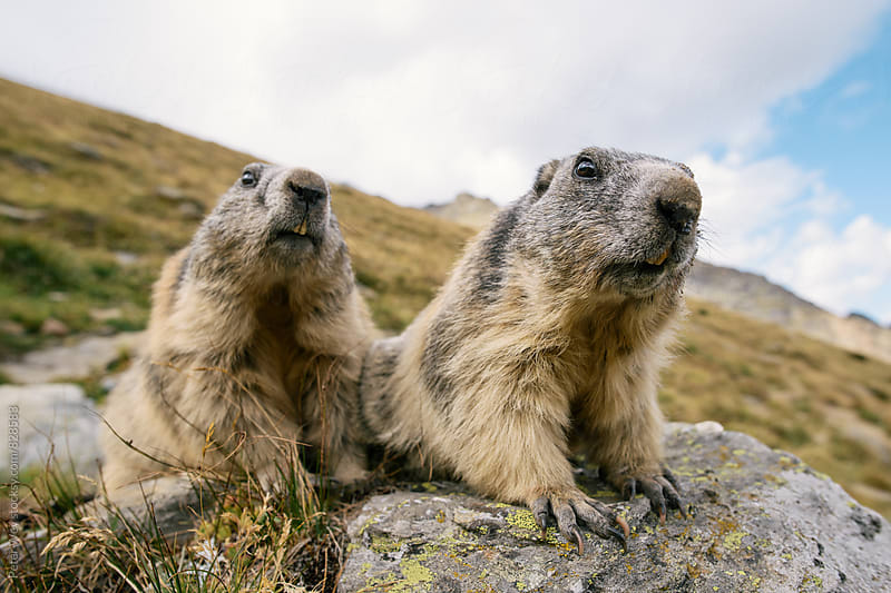 Two curious marmots by Peter Wey for Stocksy United