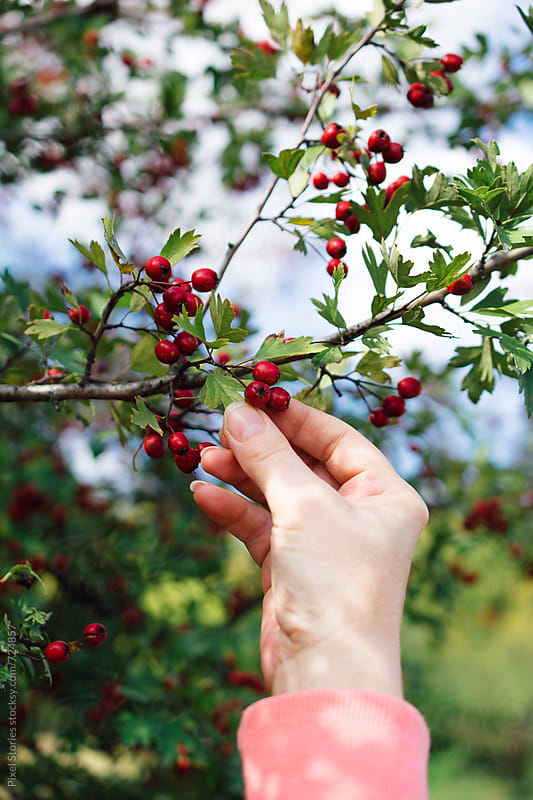 Woman picking hawthorn berries by Pixel Stories for Stocksy United