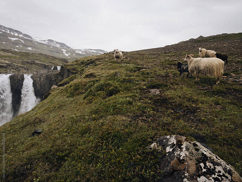 Wild sheeps in iceland by Juri Pozzi for Stocksy United
