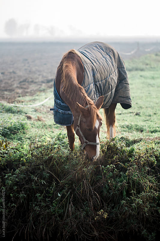 Bay horse grazing wild grass while wearing a caparison against the cold foggy air by Laura Stolfi for Stocksy United
