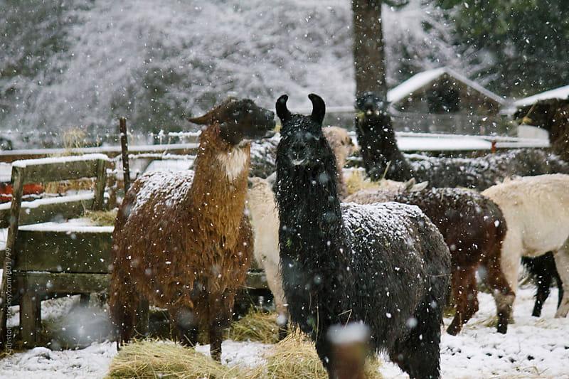 Llama and alpaca eating hay in snow by Tari Gunstone for Stocksy United
