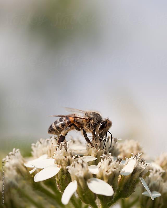 Honeybee Macro on Flowers by Brandon Alms for Stocksy United