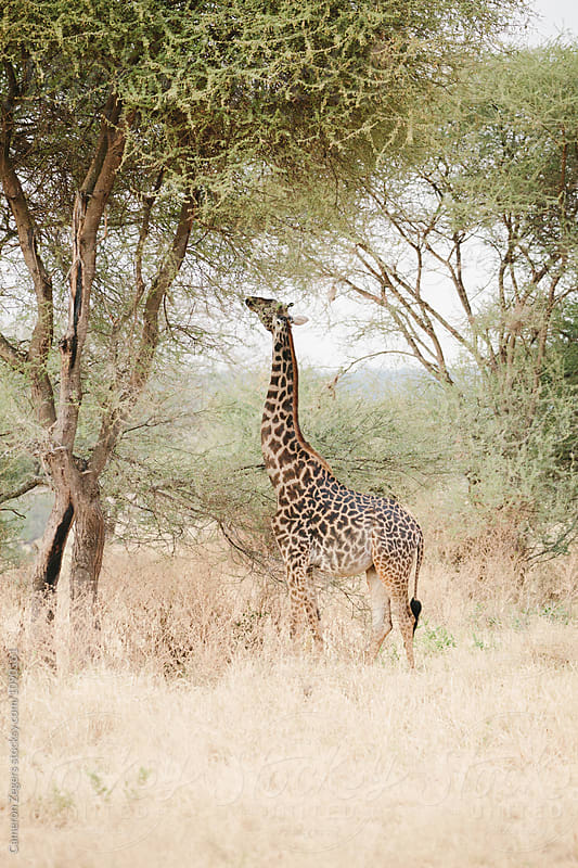 giraffe eating from tree by Cameron Zegers for Stocksy United