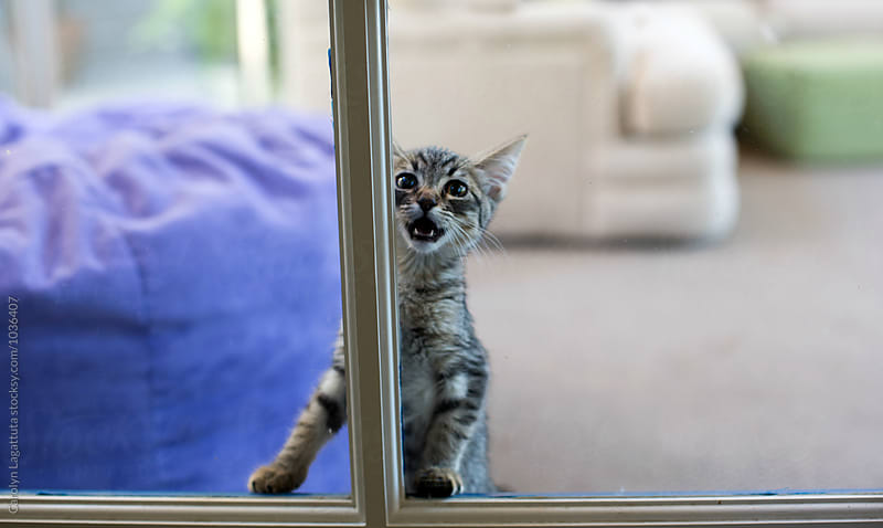 Kitten sequestered in a room desperately cries to be let out by Carolyn Lagattuta for Stocksy United