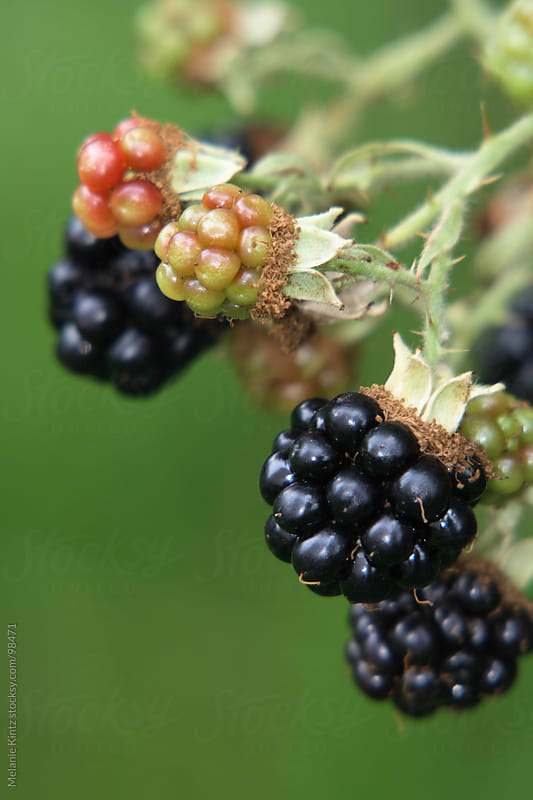 Blackberries on a branch in the garden by Melanie Kintz for Stocksy United