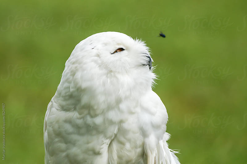 Snowy owl watching a fly by Marilar Irastorza for Stocksy United