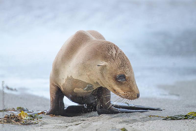 Wild California sea lion pup on a beach by Mihael Blikshteyn for Stocksy United
