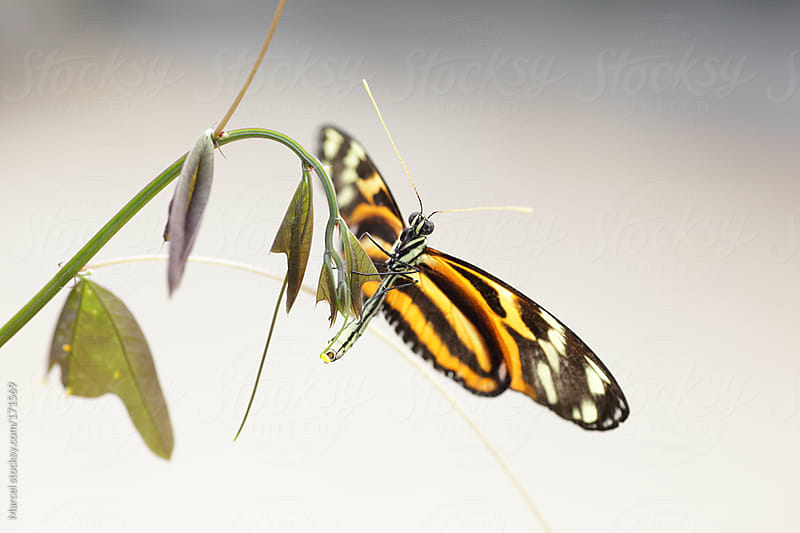 Heliconious butterfly on a passion fruit flower by Marcel for Stocksy United
