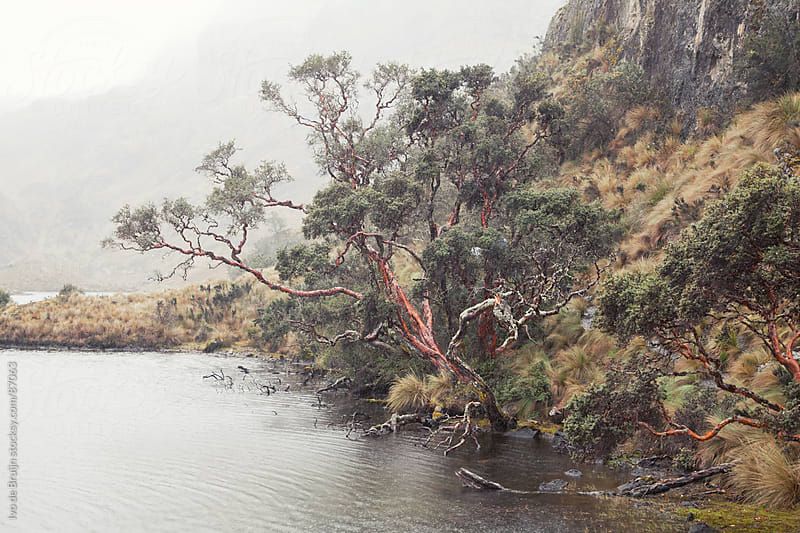 Old tree overhanging a lake on a foggy rainy day by Ivo de Bruijn for Stocksy United