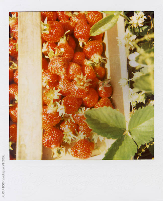 Polaroid Photograph Of Fresh Picked Ripe Strawberries by ALICIA BOCK for Stocksy United