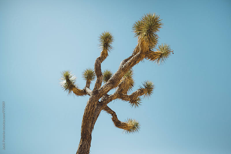 A Single Joshua Tree by Jacki Potorke for Stocksy United