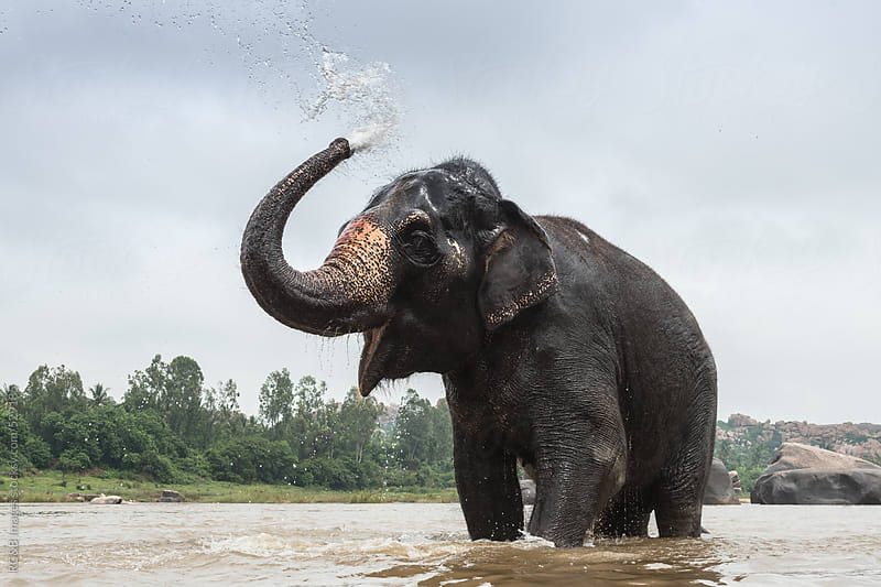 Asian elephant enjoys bathing in the river by RG&B Images for Stocksy United