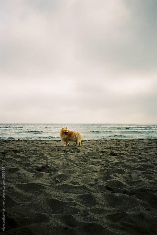 Pomeranian dog on the sandy beach by Aleksandra Martinovic for Stocksy United