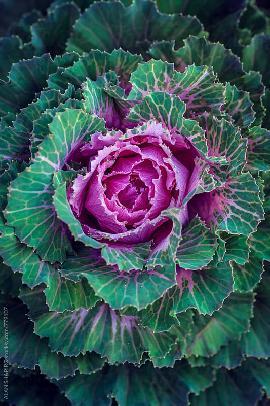 Ornamental Cabbage by alan shapiro for Stocksy United