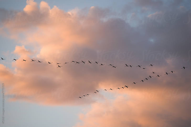 Group of flamingo birds crossing the sky in migration by RG&B Images for Stocksy United