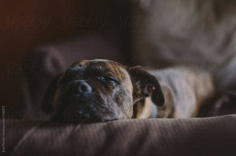 Dog asleep on the couch by Eva Plevier for Stocksy United