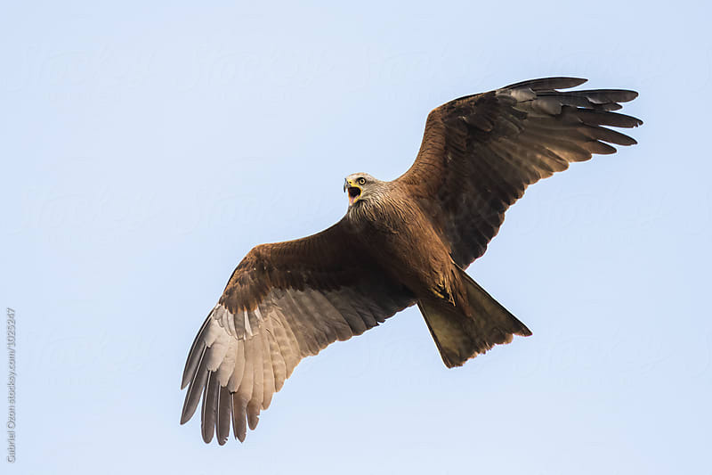 Black kite (Milvus migrans) by Gabriel Ozon for Stocksy United
