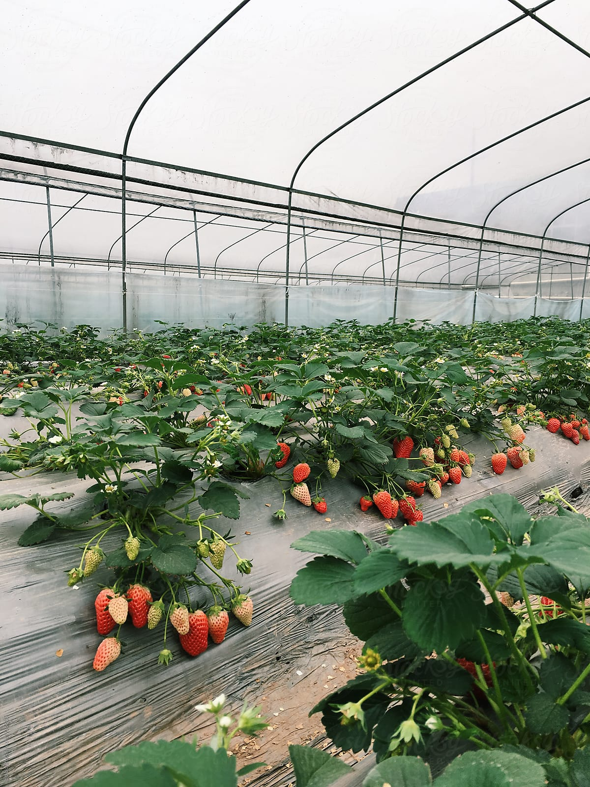 strawberry farm by Bo Bo - Strawberry, Greenhouse - Stocksy ... on indoor plants, watering plants, farm plants, pruning plants, how grow zinnia plants, pepper plants, sci-fi plants, fertilizing plants, bayou plants, landscaping plants, tomatoes plants, annuals plants, cartoon fern plants, history plants, nursery plants, green plants, water plants, potted plants, tropical plants, horticulture plants,
