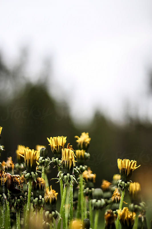 Yellow dandelions emerge to grow by Hannah Dewey for Stocksy United