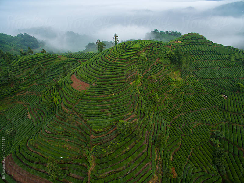 Tea Terraces in the mountain by cuiyan Liu for Stocksy United