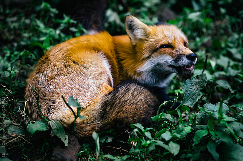 Howling red fox sitting in the grass by Manuel Chillagano for Stocksy United