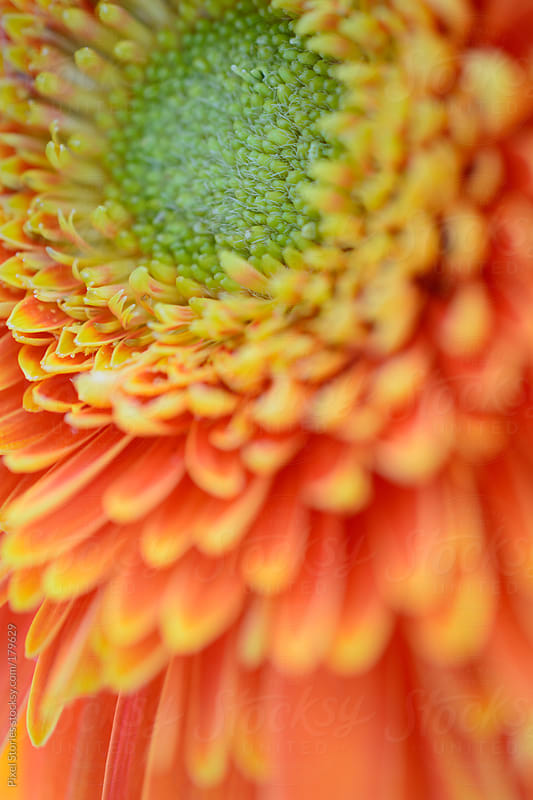 Gerbera details by Pixel Stories for Stocksy United