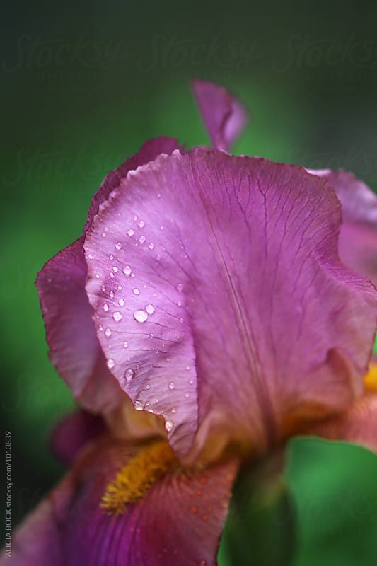 Detailed View Of Magenta Iris Petals Blooming In A Spring Garden by ALICIA BOCK for Stocksy United