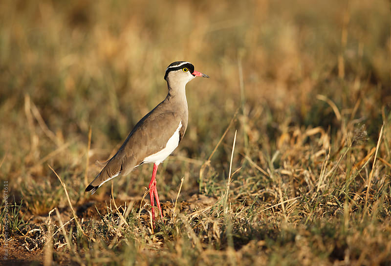Crowned Lapwing by Paul Tessier for Stocksy United