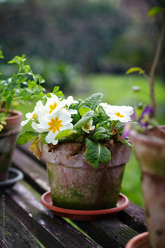 White primroses in ancient covered in moss pot by Laura Stolfi for Stocksy United