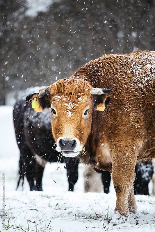 Big cow on a snowy forest looking at camera.  by BONNINSTUDIO for Stocksy United