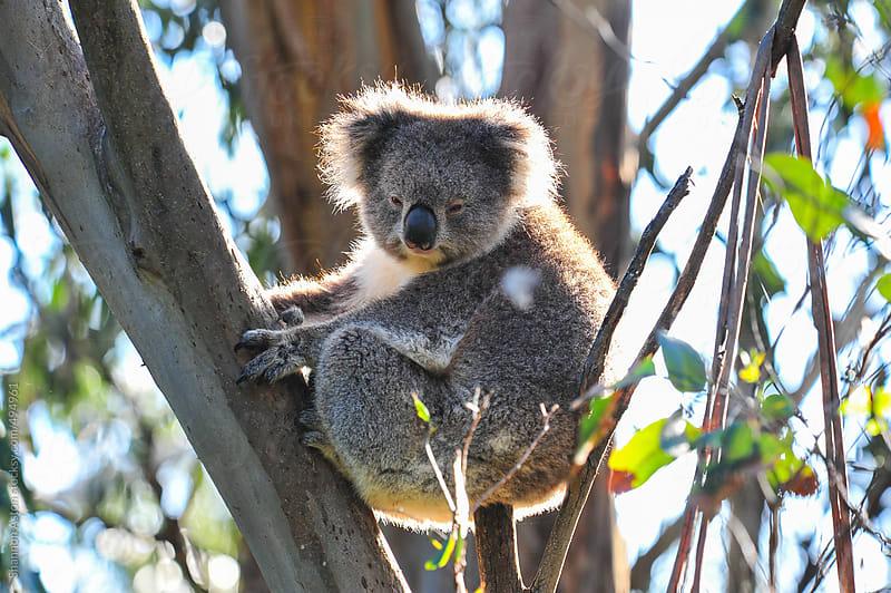 Wild Koala, Victoria, Australia by Shannon Aston for Stocksy United
