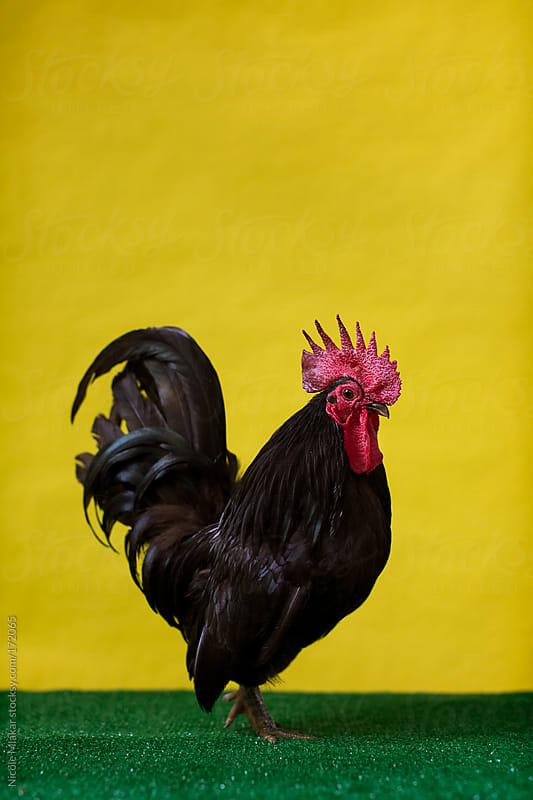 Chicken - Leghorn - Bantam by Nicole Mlakar for Stocksy United