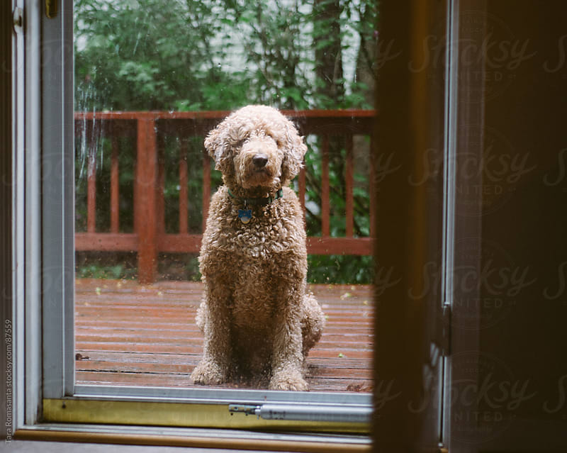 labradoodle dog waits to be let inside by Tara Romasanta for Stocksy United