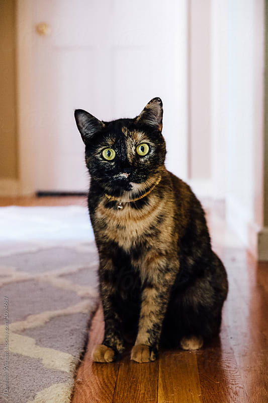 Calico cat in hallway looking at camera by J Danielle Wehunt for Stocksy United