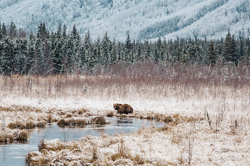 Grizzly Bear Eagle River Alaska by Jake Elko for Stocksy United