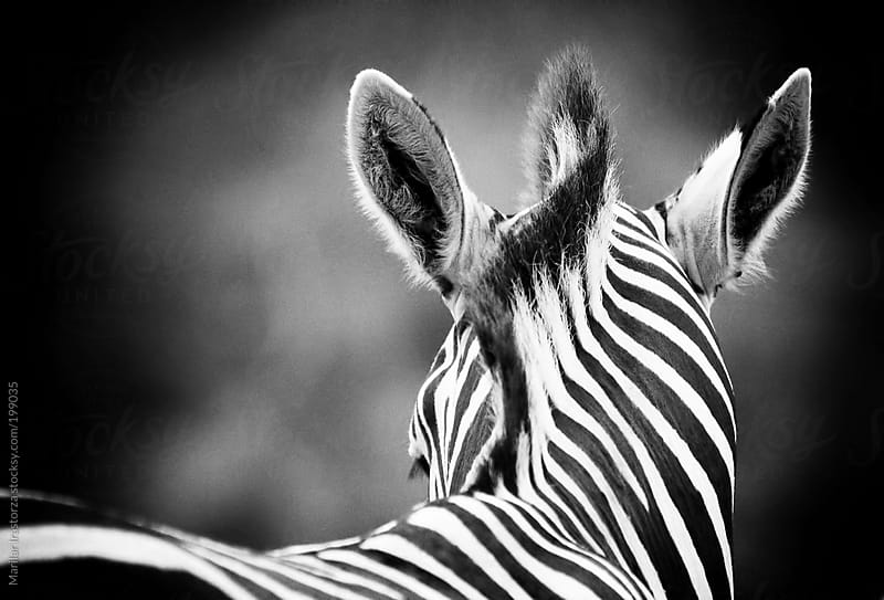 Zebra and horsehair by Marilar Irastorza for Stocksy United