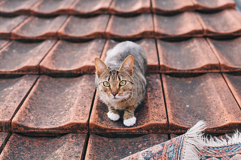 Cat lying on a roof by Marija Mandic for Stocksy United