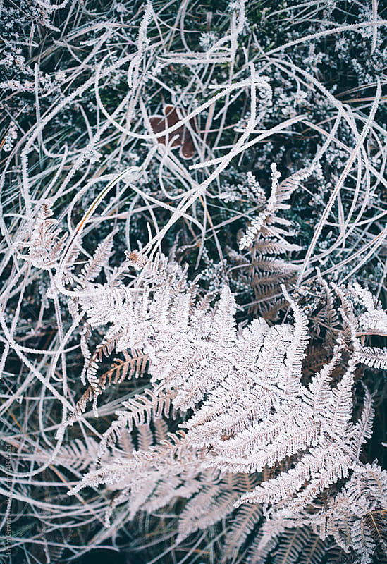 Frost covered grass and fern.  by Liam Grant for Stocksy United