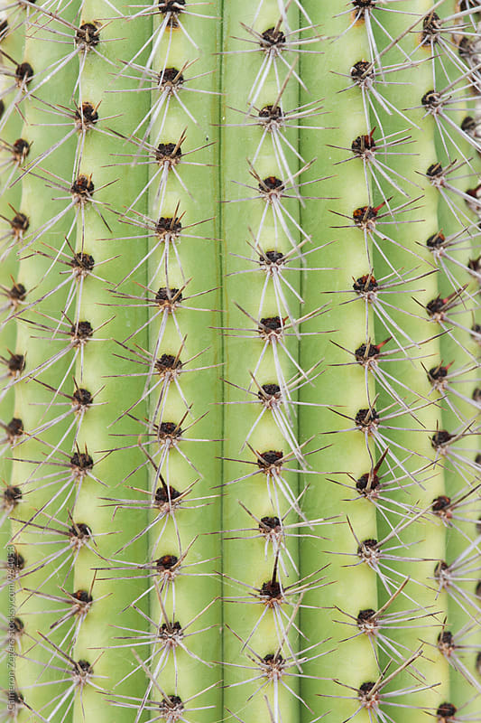 close up of green cactus by Cameron Zegers for Stocksy United