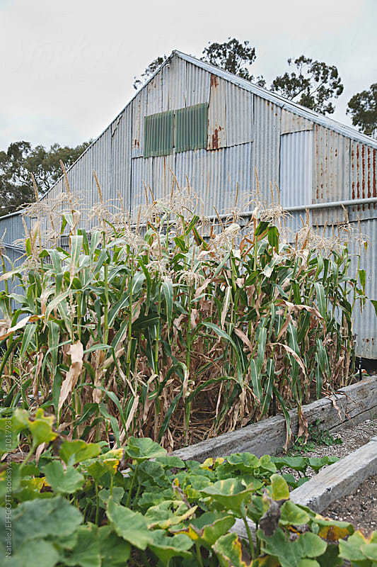Growing corn on a hobby farm in Australia by Natalie JEFFCOTT for Stocksy United