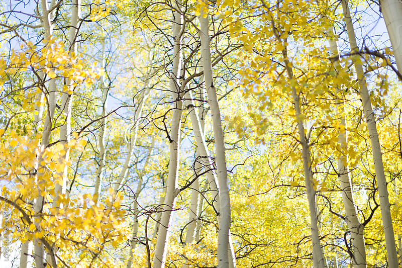 Yellow aspen forest filled with sunlight in Colorado by LORE for Stocksy United