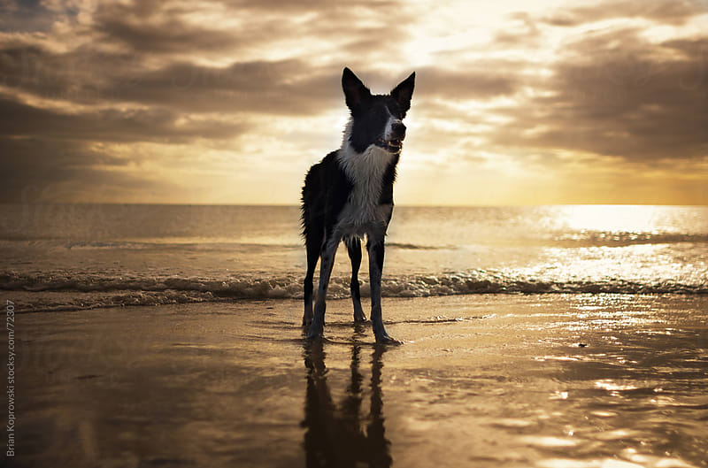 Dog in the Sun by Brian Koprowski for Stocksy United
