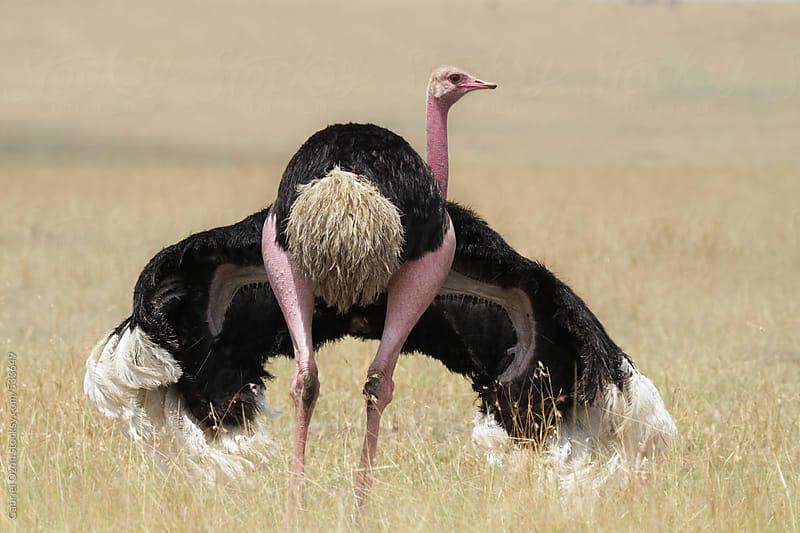 Ostrich by Gabriel Ozon for Stocksy United