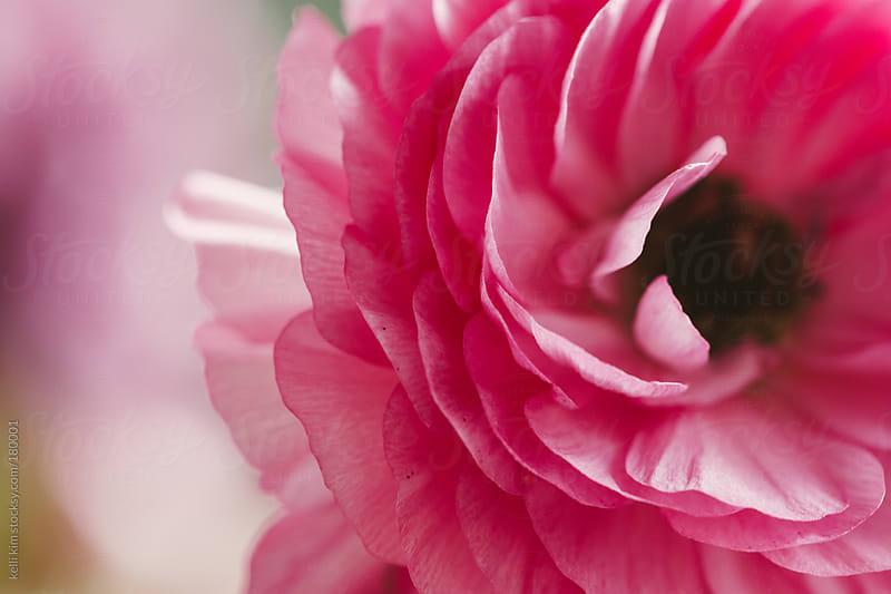 Closeup Of Pink Ranunculus In Bloom by Kelli Seeger Kim for Stocksy United
