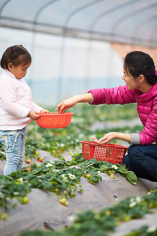 little asian girl picking strawberry in the farm with her mother by cuiyan Liu for Stocksy United