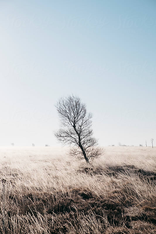 Tree in frozen moorland grass on a foggy sunrise. Beeley Moor, Derbyshire, UK. by Liam Grant for Stocksy United
